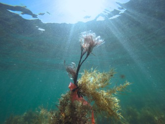 Seaweed mimic attached to our target species.