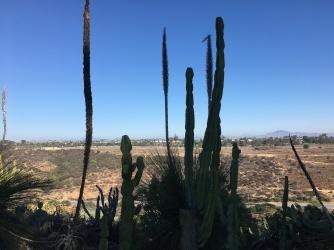 Few cacti in the coastal desert landscape of San Diego