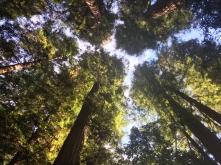 Redwoods are kinda tall